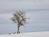Bare Tree in the Snow  Uncompahgre National Forest  Colorado  USA  North America