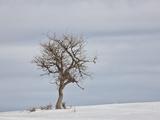 Bare Tree in the Snow  Uncompahgre National Forest  Colorado  USA  North America