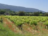 Vineyard  Petit Luberon  Provence  France  Europe