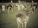 Stag with Herd of Deer in Phoenix Park  Dublin  Republic of Ireland  Europe