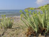 Sea Spurge (Euphorbia Paralias) Clumps in Coastal Sand Dunes  Lesbos (Lesvos)  Greece