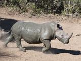 White Rhino (Ceratotherium Simum)  Mkhuze Game Reserve  Kwazulu Natal  South Africa  Africa