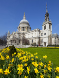 St Paul's Cathedral with Daffodils  London  England  United Kingdom  Europe