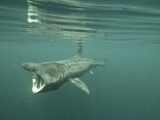 Basking Shark (Cetorhinus Maximus) Feeding on Plankton  Inner Hebrides  Scotland  UK  Europe
