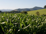 Cornfield Between St Jean Pied de Port and Roncevaux  Pyrenees  Basque Country  France