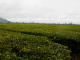 Tea Plantation  Highlands  Papua New Guinea  Pacific