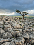 Lone Tree on Twistleton Scar  Ingleton  Yorkshire Dales  Yorkshire  England  United Kingdom  Europe