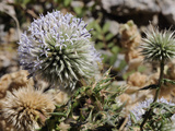 Great Globe Thistle (Echinops Sphaerocephalus)  Samos  Greek Islands  Greece  Europe