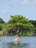 Young Cyprus Tree  Everglades  UNESCO World Heritage Site  Florida  USA  North America