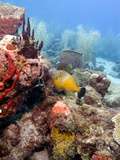 White Spotted Filefish (Cantherhines Macrocerus)  St Lucia  West Indies  Caribbean  Central America