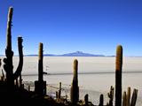 Cacti on Isla de Los Pescadores  Volcan Tunupa and Salt Flats  Salar de Uyuni  Bolivia