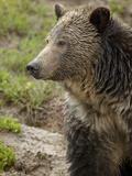 Grizzly Bear (Ursus Arctos Horribilis)  Yellowstone National Park  Wyoming  USA  North America