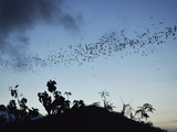 Bats  Near Kuta  Lombok  Indonesia  Southeast Asia  Asia