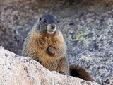 Yellow-Bellied Marmot (Marmota Flaviventris)  Arapaho-Roosevelt Nat'l Forest  Colorado  USA