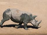 White Rhino (Ceratotherium Simum) Running Alongside Waterhole  Mkhuze Game Reserve  South Africa