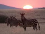 Hartmann's Mountain Zebra (Equus Zebra Hartmannae)  Palmwag Concession  Damaraland  Namibia  Africa