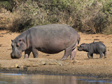 Hippopotamus (Hippopotamus Amphibius) with Calf  Kruger National Park  Mpumalanga  South Africa