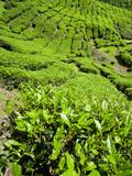 Boh Tea Plantation  Cameron Highlands  Malaysia  Southeast Asia  Asia