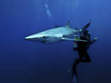 Blue Shark (Prionace Glauca) in the Azores  Portugal  Atlantic  Europe