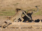 Cheetah (Acinonyx Jubatus)  Kgalagadi Transfrontier Park Waterhole  South Africa  Africa