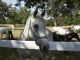 Lipizaner Horses in the World Famous Lipizaner Horses Farm  Lipica  Slovenia  Europe