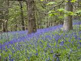 Bluebells in Middleton Woods Near Ilkley  West Yorkshire  Yorkshire  England  UK  Europe
