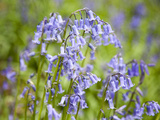 Bluebells in Middleton Woods Near Ilkley  West Yorkshire  Yorkshire  England  UK  Europe