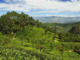 View of Tea Plantations from Lipton's Seat  Haputale  Sri Lanka  Asia