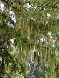 Spanish Moss  Orlando  Florida  United States of America  North America