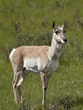 Female Pronghorn (Antilocapra Americana)  Yellowstone National Park  Wyoming  USA  North America