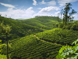 View over Tea Plantations  Near Munnar  Kerala  India  Asia