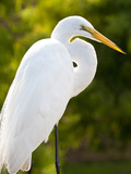 Great Egret (Ardea Alba)  Everglades  Florida  United States of America  North America