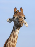 Giraffe (Giraffa Camelopardalis)  with Redbilled Oxpecker  Hluhluwe-Imfolozi Park  South Africa