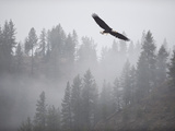 Bald Eagle (Haliaeetus Leucocephalus) Flying over the Trees  Coeur D'Alene Lake  Idaho  USA