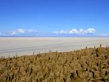 Cacti on Isla de Los Pescadores and the Salt Flats  Salar de Uyuni  Southwest Highlands  Bolivia