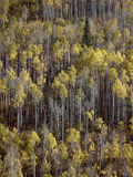 Yellow Aspens in the Fall  Wasatch-Cache National Forest  Utah  USA  North America