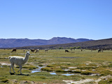 Llamas and Alpacas Grazing  Tunupa  Bolivia  South America