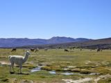 Llamas and Alpacas Grazing  Tunupa  Bolivia  South America