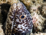 Spotted Moray Eel (Gymnothorax Moringa)  St Lucia  West Indies  Caribbean  Central America