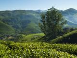 View over Tea Plantations  Near Munnar  Kerala  India  Asia