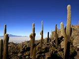 Cacti on Isla de Los Pescadores and the Salt Flats of Salar de Uyuni  Southwest Highlands  Bolivia