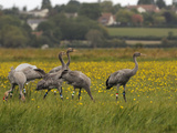 Juvenile Common Cranes (Grus Grus) Released by Great Crane Project on Somerset Levels  England