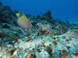 Sea Turtle (Chelonioidea) and Queen Angelfish (Holacanthus Ciliaris) Eating  Cozumel  Mexico