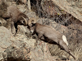 Two Bighorn Sheep (Ovis Canadensis) Rams Head Butting  Clear Creek County  Colorado  USA
