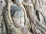 Stone Buddha Head in Fig Tree  Wat Mahathat  Ayutthaya City  UNESCO World Heritage Site  Thailand