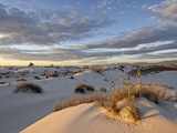 First Light on a Cluster of Yucca Among the Dunes  White Sands National Monument  New Mexico  USA
