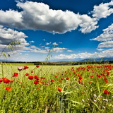 Wild Poppies (Papaver Rhoeas) and Wild Grasses in Front of Sierra Nevada Mountains  Spain