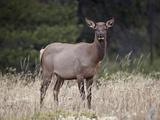 Elk (Cervus Canadensis) Cow  Jasper National Park  Alberta  Canada  North America