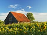 Sunflowers (Helianthus Annuus)  Villingen-Schwenningen  Black Forest  Schwarzwald-Baar  Germany