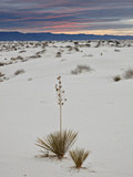 Yucca on the Dunes at Sunrise  White Sands National Monument  New Mexico  USA  North America